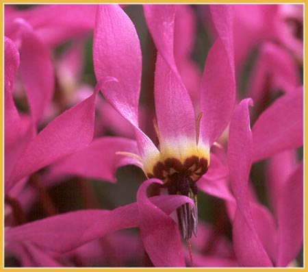 Hendersons Shooting Star, Dodecatheon hendersonii
