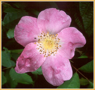 California Rose, Rosa californica