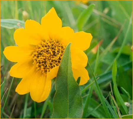 Narrowleaf Mule Ears, Wyethia angustifolia