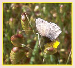 Arrowhead Blue Butterfly