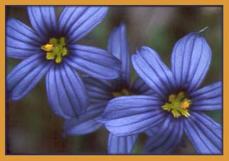 California Blue Eyed Grass, Sisyrinchium bellum