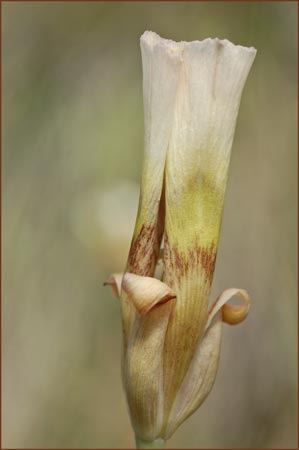 Superb Mariposa Lily, Calochortus superbus