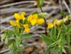 Thermopsis rhombifolia, Golden Banner