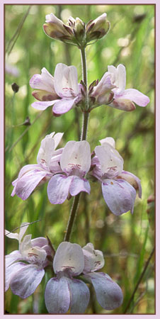 Chinese Houses, Collinsia heterophylla